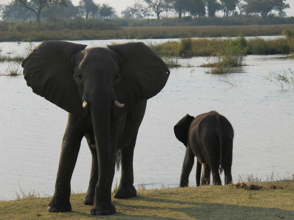 Mother and baby elephants drinking water