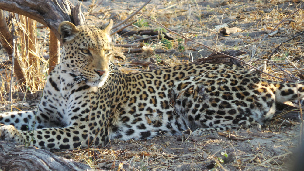 Another beautiful leopard