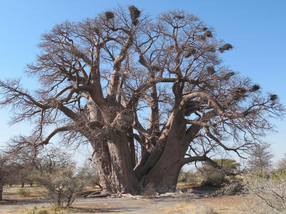 Chapman´s Baobab