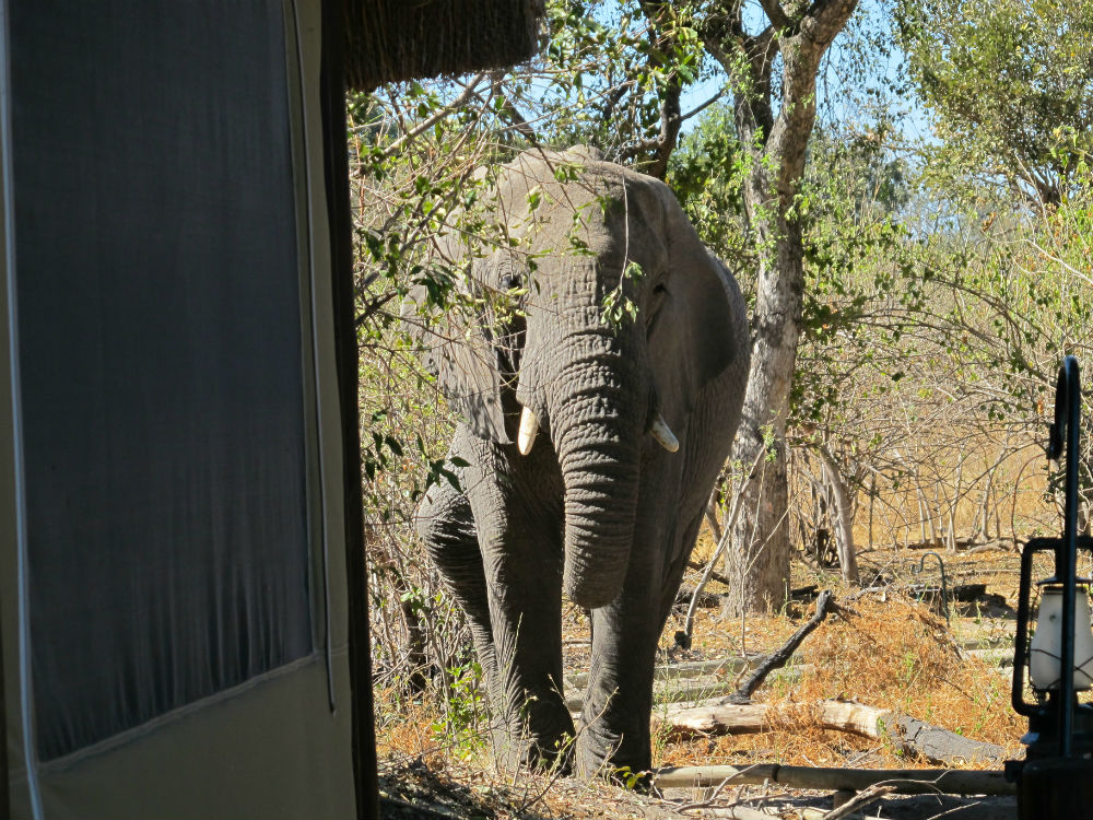 Elephant approaching tent