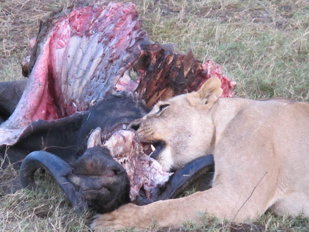 Lioness feeding on buffalo