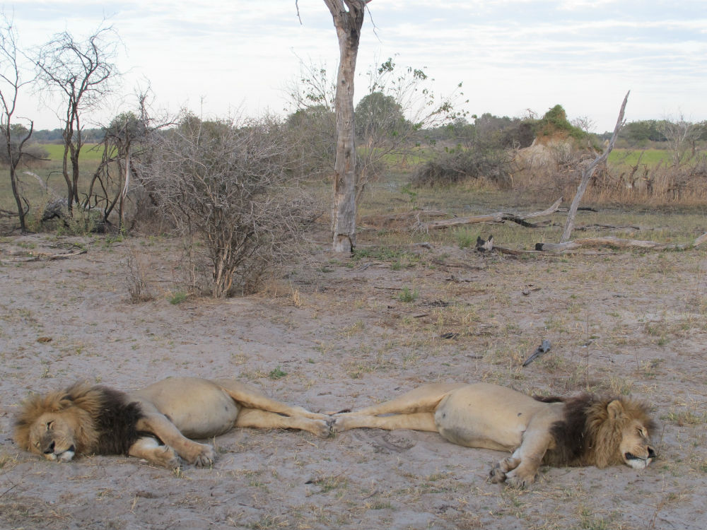 Two lions napping