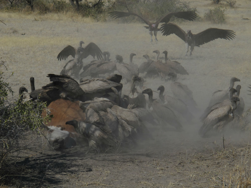 Vultures feeding cow